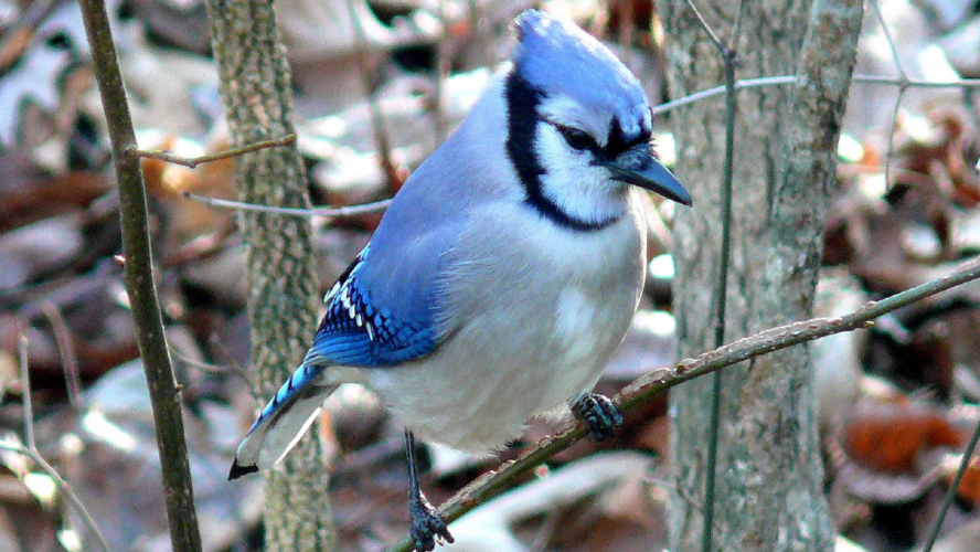 WHAT DO YOU HEAR IN A BLUE JAY CALL EFD A